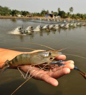 β-glucans: Innate immune system response of shrimp and fish