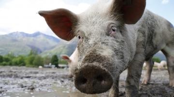 Saiba quais são os tipos de peste suína e seus perigos