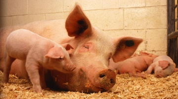 How to prevent the spread of African Swine Fever