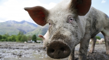 Find out what the types of swine fever are and their dangers