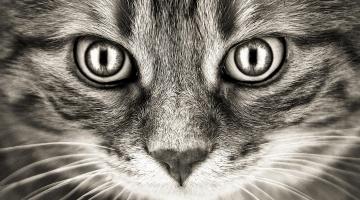 Gatos – O Papel dos aminoácidos essenciais na dieta dos felinos