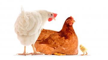 A relação entre imunidade e produtividade animal