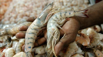 The relation between immunity and productivity for the Whiteleg Shrimp (Litopenaeus vannamei)