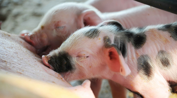 Palatability in the food for sows in the weaning phase