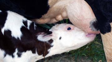 Ruminants' immunity and gut modulators