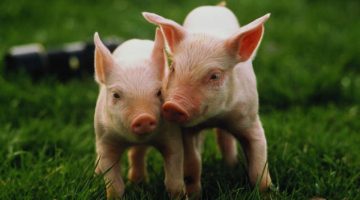 The impacts of stress on the early days of life of piglets