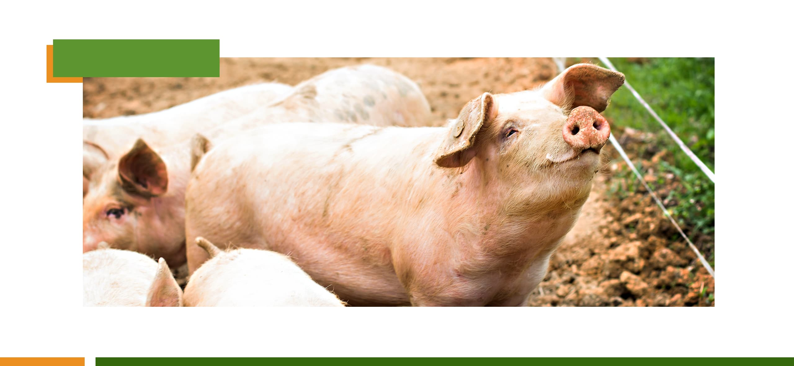 Safe Management Series: correct nutritional management avoids competition for feed and improves swine production rates