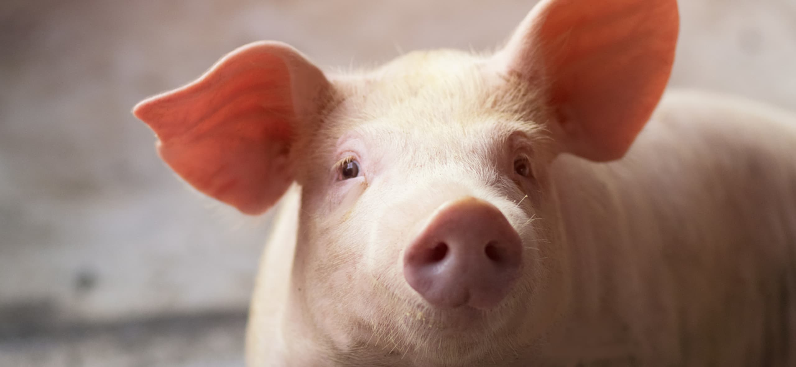 Safe Management Series: pig welfare and its impact on production rates