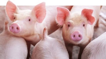 Suinocultura 2021: Com as micotoxinas controladas, produtores aproveitam as boas previsões